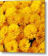 Yellow Chrysanthemums Metal Print