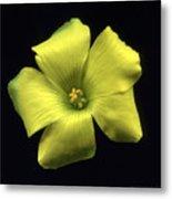 Yellow Clover Flower Metal Print