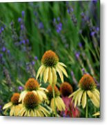 Yellow Coneflowers And Lavender 1633 H_2 Metal Print