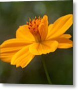 Yellow Cosmos Metal Print