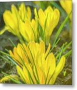 Yellow Crocuses Close Up Metal Print