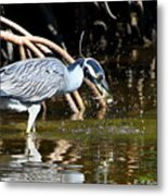 Yellow Crowned Night Heron Catches A Crab Metal Print