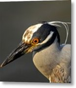 Yellow Crowned Night Heron Metal Print