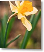 Yellow Daffodil Metal Print