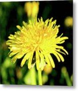 Yellow Dandelion Flower Metal Print