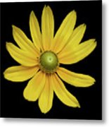 Yellow Eyed Daisy In Black Metal Print