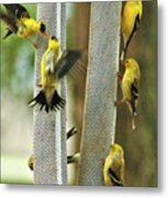 Yellow Finch Feeding Frenzy Metal Print