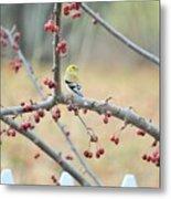 Yellow Finch In Crab Apple Tree Metal Print