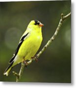 Yellow Finch Perching Metal Print