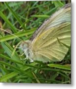 Yellow Fringed Sulphur Butterfly In Grass Blades  Image No 1  Indiana Metal Print