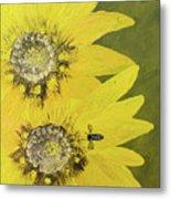 Yellow Gazanias And Bee  Metal Print
