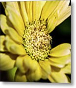 Yellow Gerbera Metal Print