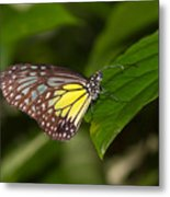 Yellow Glassy Tiger Butterfly Metal Print