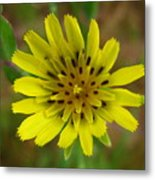 Yellow Goatsbeard Metal Print