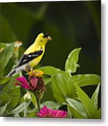 Yellow Goldfinch Metal Print