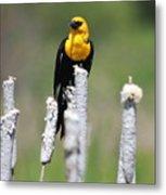 Yellow-headed Blackbird Metal Print