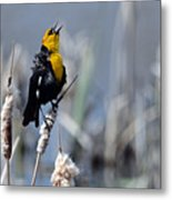 Yellow Headed Blackbird Metal Print