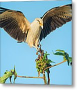 Yellow-headed Caracara Milvago Metal Print