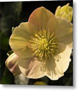 Yellow Helleborus Metal Print
