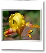 Yellow Iris And Butterfly Metal Print