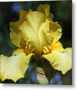 Yellow Iris Is For Passion Metal Print