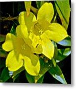 Yellow Jessamine At Pilgrim Place In Claremont-california Metal Print