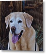 Yellow Lab At Bodie Metal Print