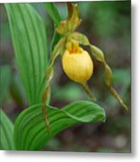 Yellow Lady Slipper Metal Print