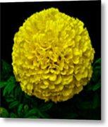 Yellow Marigold Flower On Black Background Metal Print