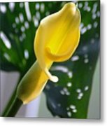 Yellow Mini Calla Lilies Metal Print