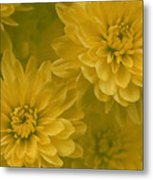 Yellow Mums Metal Print