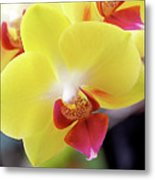Yellow Phalaenopsis Orchids Metal Print