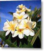 Yellow Plumeria Flowers On Maui Hawaii Metal Print