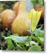 Yellow Pumpkin Flower Closeup Garden Autumn Season Metal Print