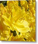 Yellow Rhodies Floral Brilliant Sunny Rhododendrons Baslee Troutman Metal Print