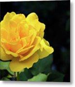 Yellow Rose - Full Bloom Metal Print
