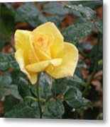 Yellow Rose In The Rain Metal Print