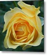 Yellow Rose Metal Print