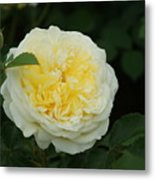 Yellow Rose Of Texas Too...   # Metal Print