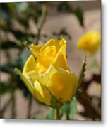 Yellow Rose With Ants Metal Print