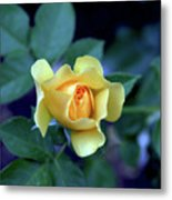 Yellow Rose With Purple Contrast 0357 H_2 Metal Print