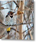 Yellow-shafted Northern Flicker Staying Warm Metal Print