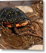Yellow-spotted Turtle Crawling Through Wetland Metal Print