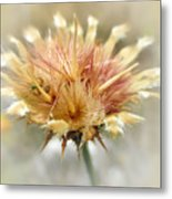 Yellow Star Thistle Metal Print