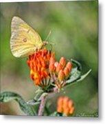 Yellow Sulphur Butterfly Metal Print