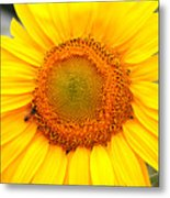 Yellow Sunflower With Bee Metal Print