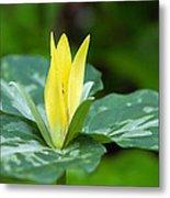 Yellow Trillium Flower Trillium Luteum Metal Print