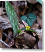 Yellow Trout Lily 2 Metal Print