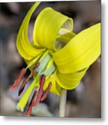 Yellow Trout Lily Metal Print