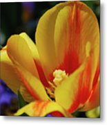 Yellow Tulip Blossom Streaked  With Red In The Spring Metal Print